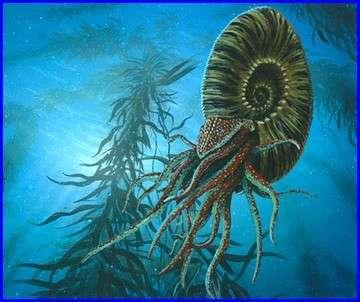ammonite reconstitution