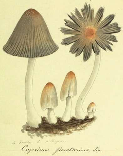 champignon fabre