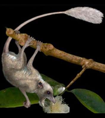 une vue d artiste d un purgatorius plus ancien primate connu a l attaque d une fleur prehistorique credit douglas boyer 54774 w460