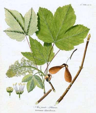 Acer pseudoplatanusAA