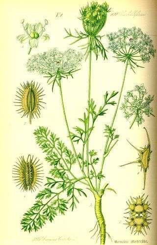 carotte sauvage planche botanique