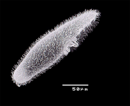 blepharisma japonicum