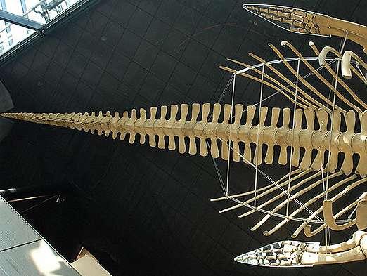 membres baleine