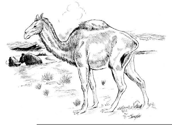 229 i camelops hesternus p