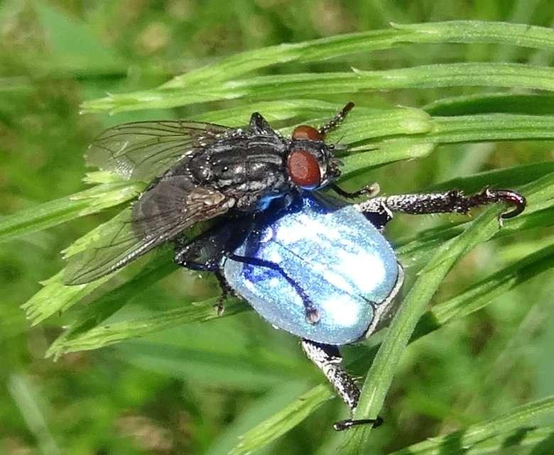 Hoplie bleue et mouche