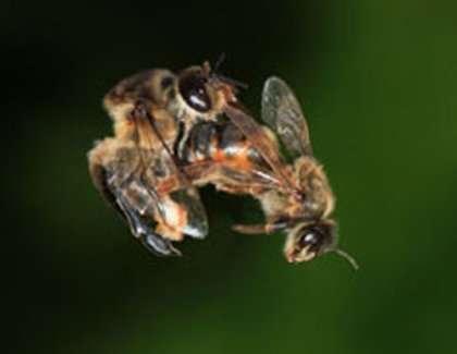 abeille_accoupl_2