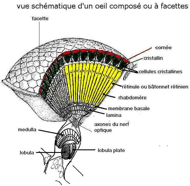abeille_oeil_schema