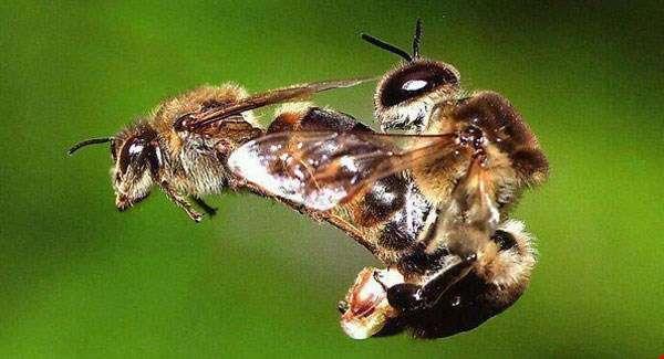 abeille_accouplement