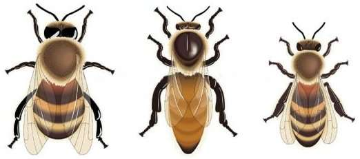 abeille_castes