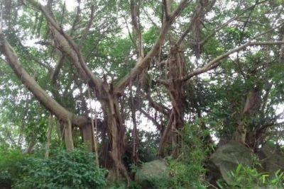 1 Deux arbres dont les noms sont indiqués sur les deux plaquettes qui vont suivre