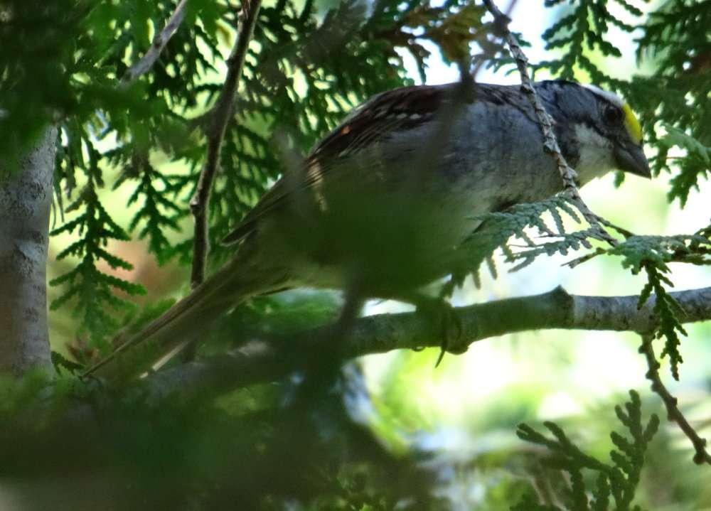 1 Une bonne diversité de petits oiseaux le plus souvent très mobiles et cachés dans la végétation ce qui les rend très difficiles à photographier