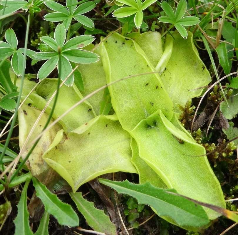12 Grassette à grandes fleurs Pinguicula grandiflora