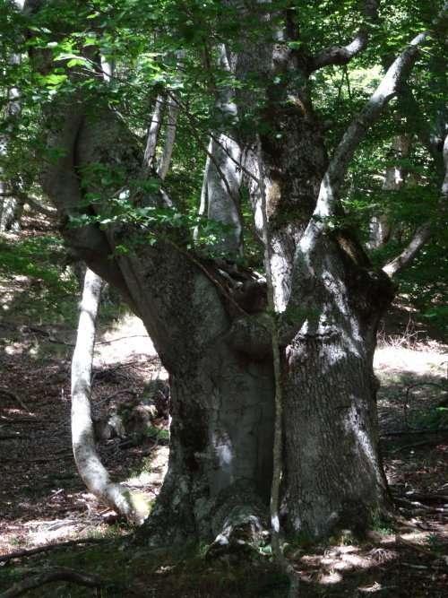 13 Chênes hêtres et châtaigniers ont parfois un tronc dun diamètre impressionnant