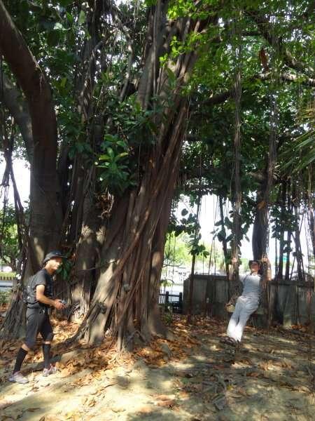 Jean-Louis joue à Tarzan, suspendu aux racines aériennes d'un banyan