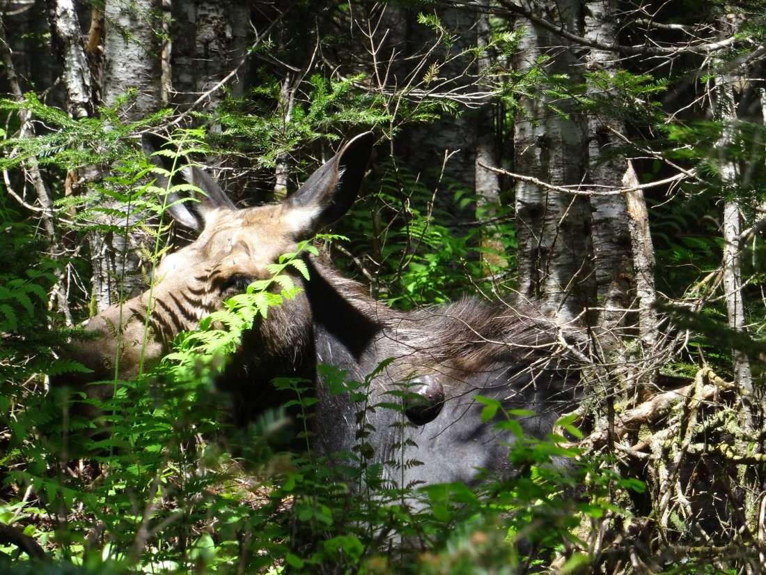 18 Un peu plus loin japerçois dans le sous bois opposé une femelle qui fait la sieste. Elle a une grosse tumeur à la base du cou vraisemblablement causée par les insecte