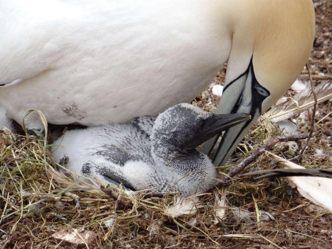 19 Dun âge un peu plus avancé il se fait câliner par ladulte mâle et femelle sont daspect identique et les deux parents se partagent les soins à accorder au petit