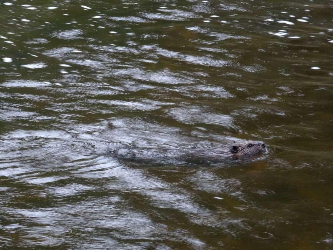 19 Dun claquement sonore de sa queue plate le castor a cherché à nous intimider puis nous lavons vu nager et disparaître dans les profondeurs opaques de la rivière