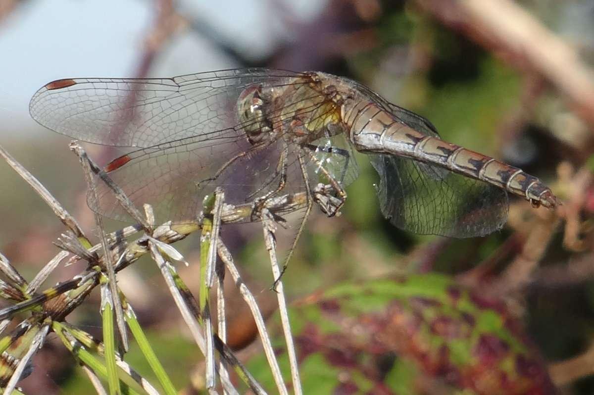 2 Sympetrum strié fascié femelle Odonates Anisoptères