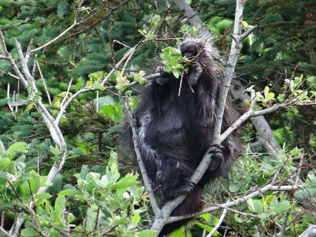 20 Quest ce que cest Un chimpanzé un gorille un orang outang Non Une grosse femelle porc épic