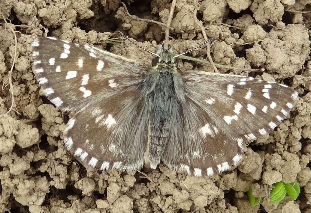 21 Papillon