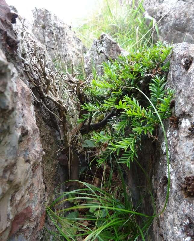 22 Bonzaï naturel entre deux roches bien à labri des intempéries et des dents des herbivores