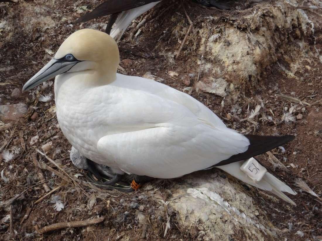 24 Oiseau bagué et porteur dune balise pour étudier ses déplacements