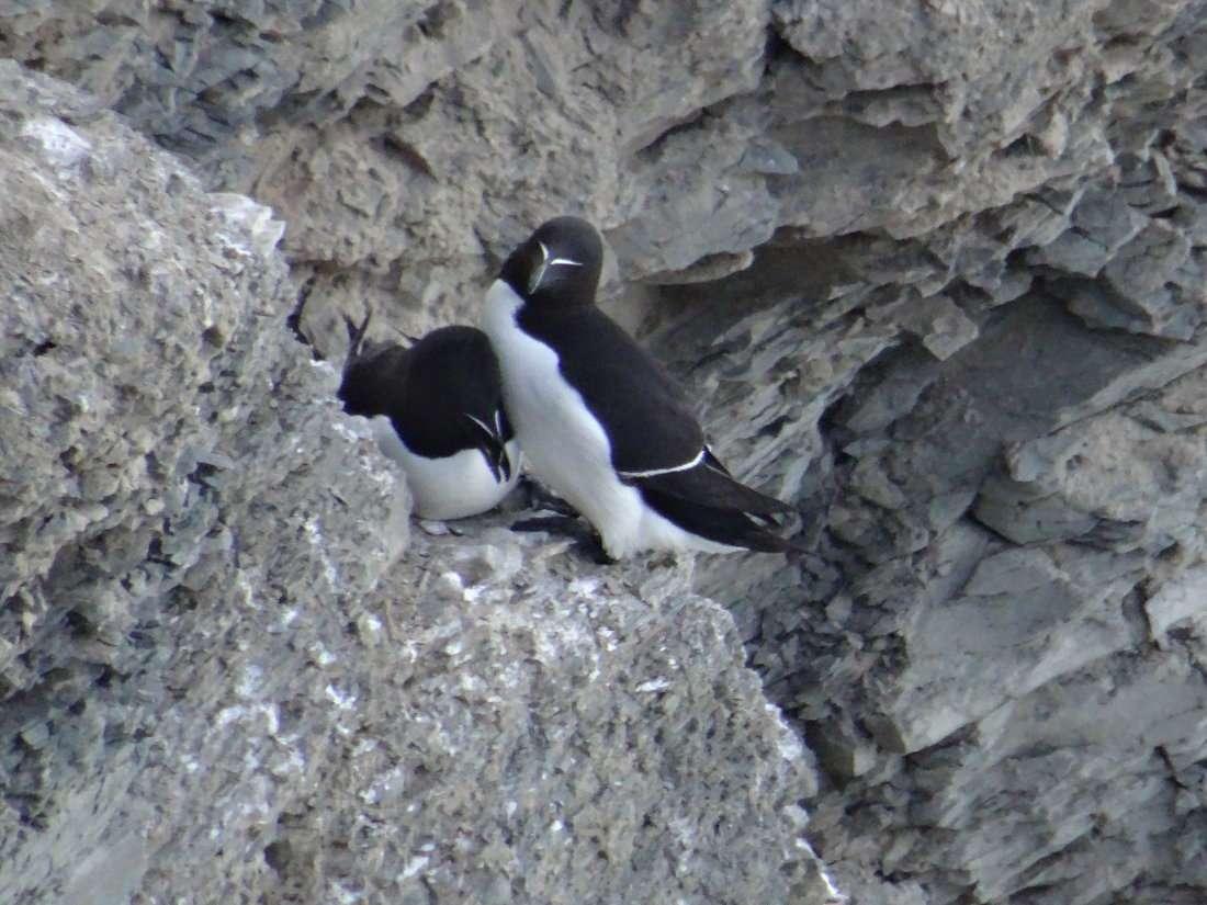 25 Pingouin torda