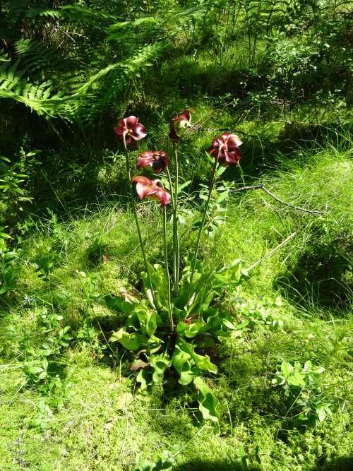 26 Plante carnivore la sarracénie pourpre la feuille enroulée en urne à la base de la tige florale semplit deau de pluie et forme un piège à insectes