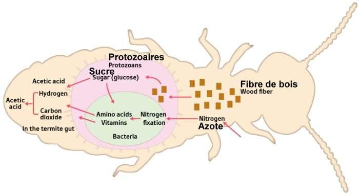 Schémas: Mécanismes symbiotiques des microorganismes dans l'intestin d'un termite