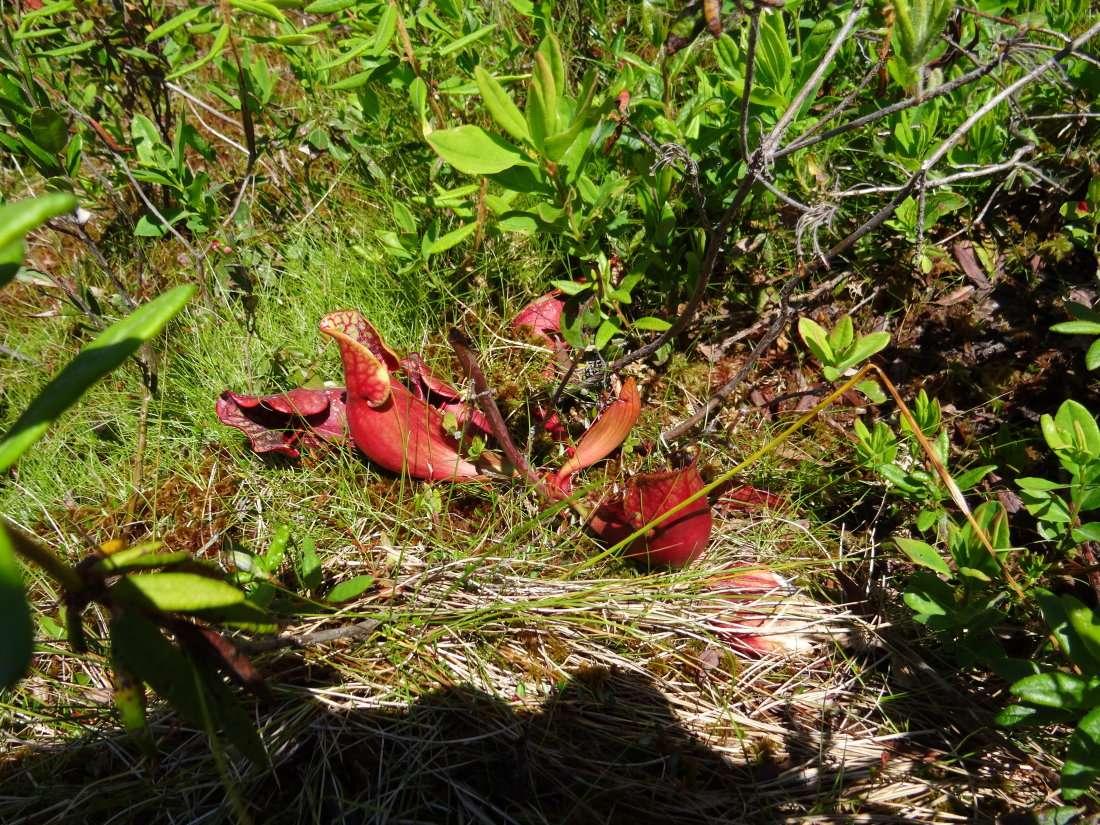 29 Les feuilles pièges en urne peuvent être vertes rouges ou diversement veinées