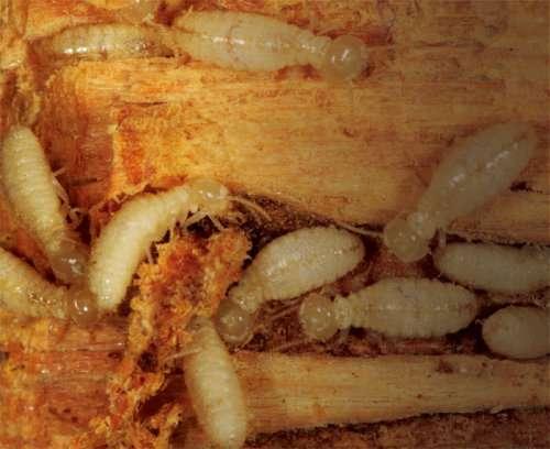 Termites souterrains de Formose (Taïwan)
