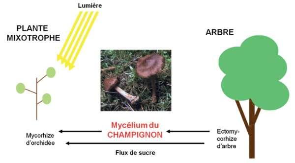 Schéma - L'orchidée est nourrie grâce aux filaments (mycélium) d'un champignon qui relie la fleur à un arbre dont il capte les nutriments - Mycorhize