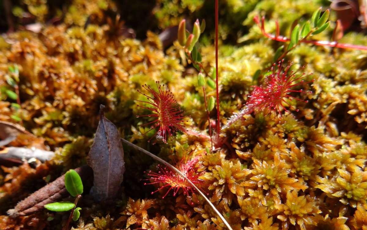 30 Une autre plante carnivore la Droséra à feuilles rondes rossolis à feuilles rondes pousse aussi dans les tourbières à sphaigne du Québec