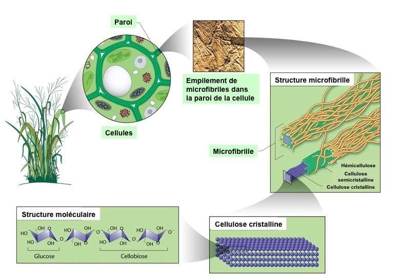 31 cellulose2