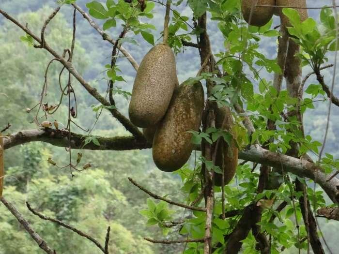 Arbre portant de grands fruits oblongs de 15 à 20 cm de long