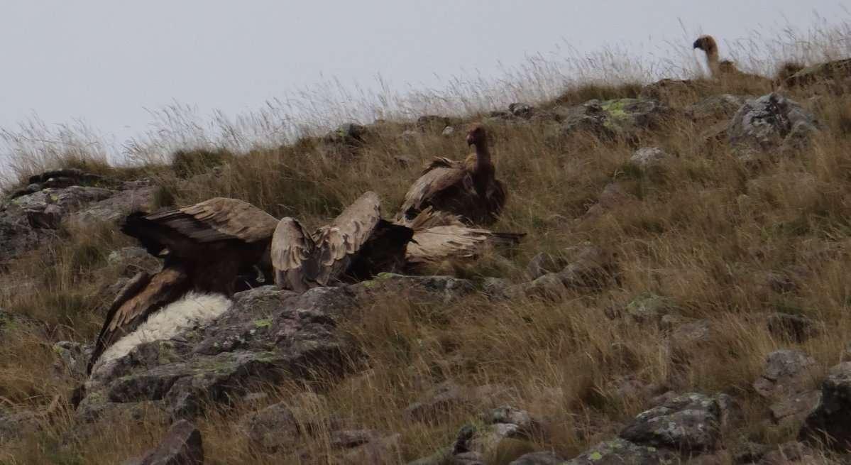 36 Rapidement ils aperçoivent une brebis blessée déjà morte non loin du chemin que nous avons suivi pour nous rendre au sommet et commencer à redescendre