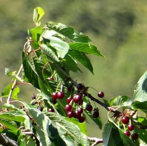 36 Vignes et vergers parfois entremêlés. Beaucoup de cerisiers sauvages encore couverts de fruits.