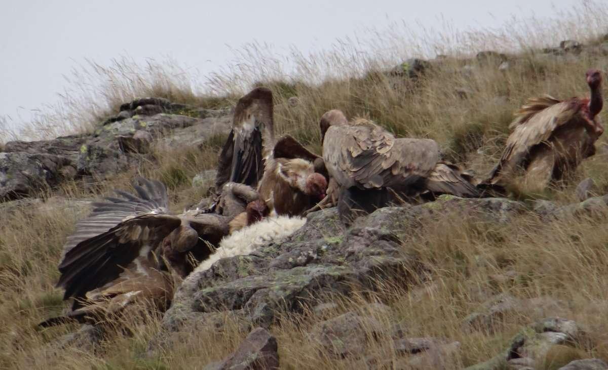 38 Le bec la tête le cou se teintent de sang les vautours ne sont pas équipés pour déchirer la peau ils doivent sinsérer par les voies naturelles pour atteindre les tripes.