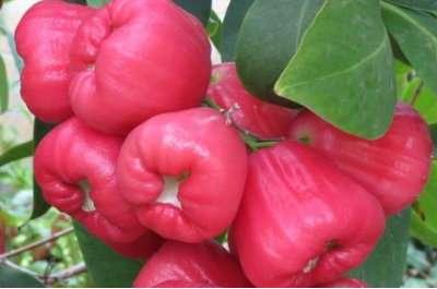 Fruits du prunier de Malabar