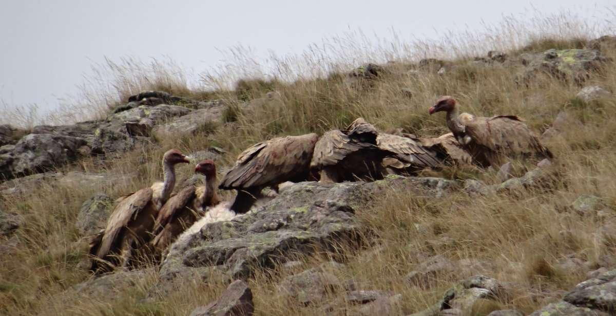39 De toute part les vautours accourent. Ils piquent si vite à loblique que lair est fendu dans un vrombissement de planeur