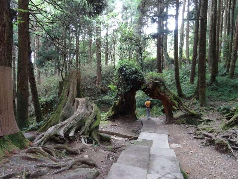 Banyan et deux arbres remarquables, un cajeput et un cèdre de Java, répertoriés à Taïpei
