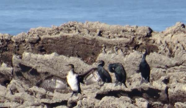 4 Cormorans
