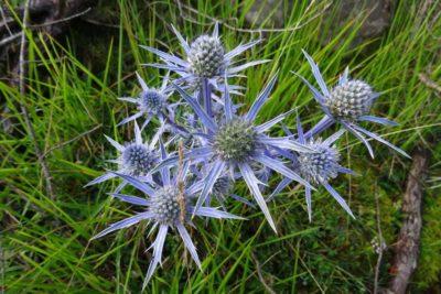 4 Panicaut de Bourgat ou Chardon bleu des Pyrénées Eryngium bourgatii