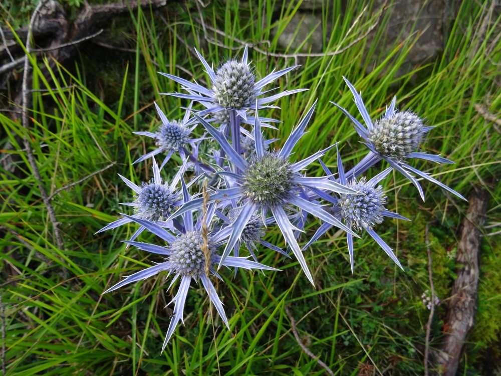 Panicaut de Bourgat, ou Chardon bleu des Pyrénées (Eryngium bourgatii)