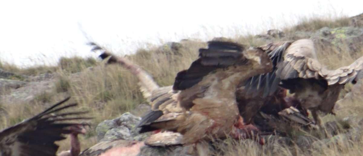 40 Echauffourée. Les vautours peuvent demeurer trois semaines sans manger cela explique leur hargne et leur excitation lorsquune aubaine se présente.