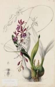 Epidendrum phoeniceum illustration pour l'Assiette XLVI de Sertum Orchidaceum, de l'illustratrice botanique anglaise Sarah-Ann Drake (1803-1857)