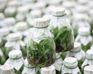 Taïwan Sugar Corporation, trois stades de production des orchidées Phalaenopsis (en flacon de verre et sous serre)