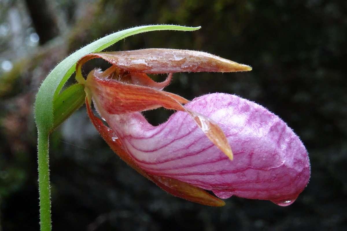 5 Orchidée cousine du Sabot de Vénus jaune qui pousse dans les Pyrénées par