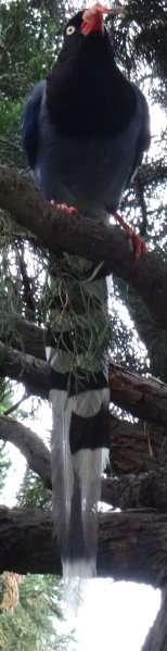 Pirolle de Taïwan (Urocissa caerulea)