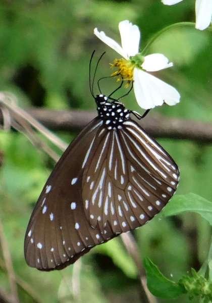 53b Common mapwing Cyrestis thyodamas Nymphalidae